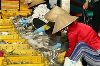 Công nhân phân loại cá ở cảng cá Tắc Cậu, Châu Thành. (Ảnh: Lê Sen/TTXVN)