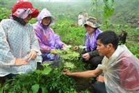 Người dân huyện Đắk Glei chăm sóc cây đương quy.
