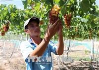 A farmer tends his grape farm in Ninh Thuan province's Ninh Hai district.